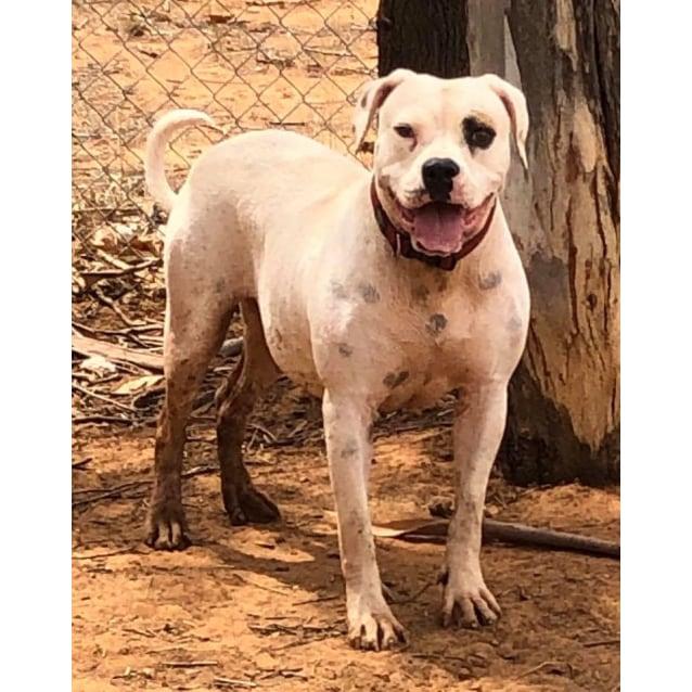 Photo of Philly   American Bulldog