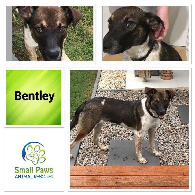 Bentley Medium Male Jack Russell Terrier Mix Dog In Qld