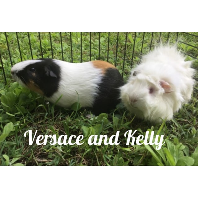 Photo of Versace (Desexed Male) And Kelly