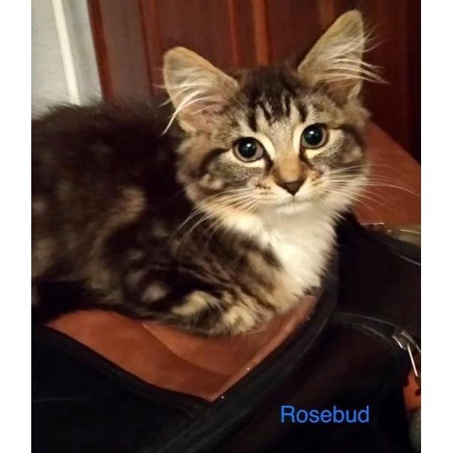 Photo of Rose Bud