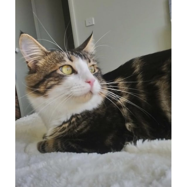 Photo of Tabby Ted ~ 2 Year Old Cat (Deposit Taken)