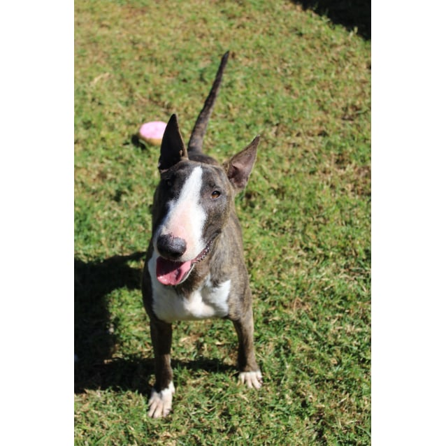 Photo of Boss   Nsw Bull Terrier Rescue