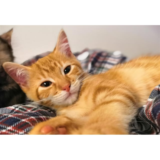 Marmaduke Male Domestic Medium Hair Mix Cat In Nsw Petrescue