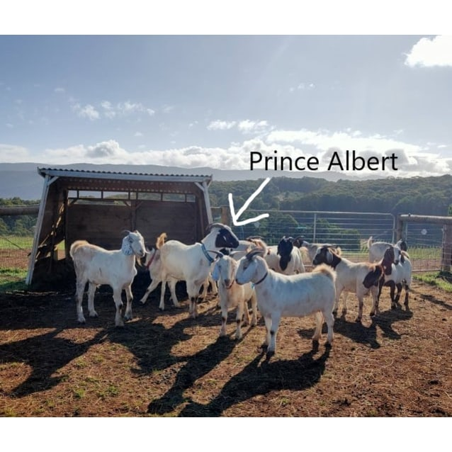 Photo of Prince Albert The Goat