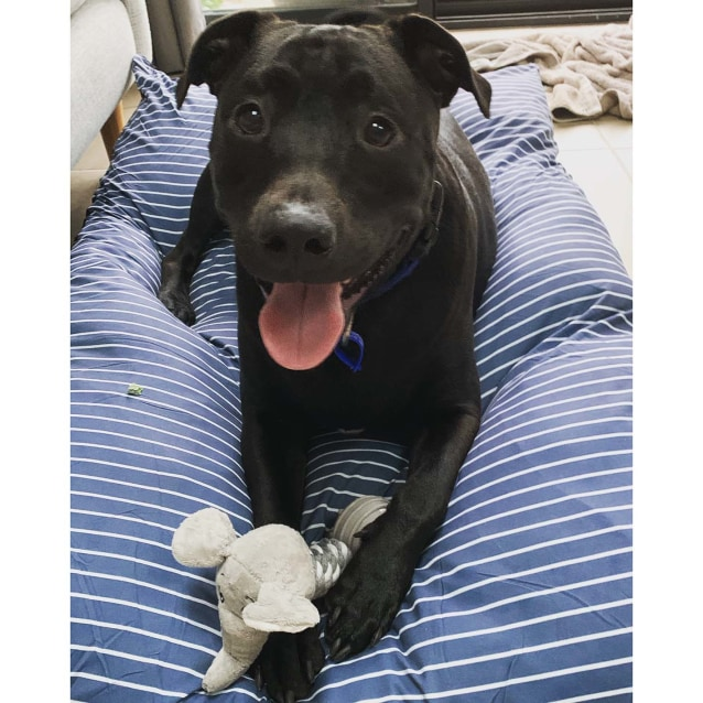 Photo of Diesel ~ Loving 18mo Staffy X