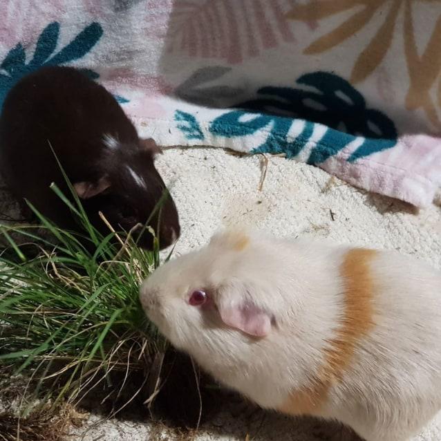 Photo of Jazz (Lab Piggy   Buddy Of Chocdrop)