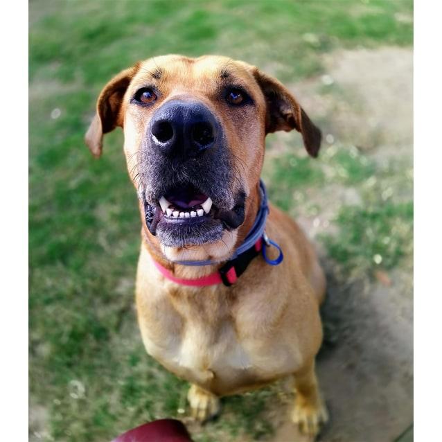 Lexi Large Female German Shepherd X Rhodesian Ridgeback Mix Dog In Qld Petrescue