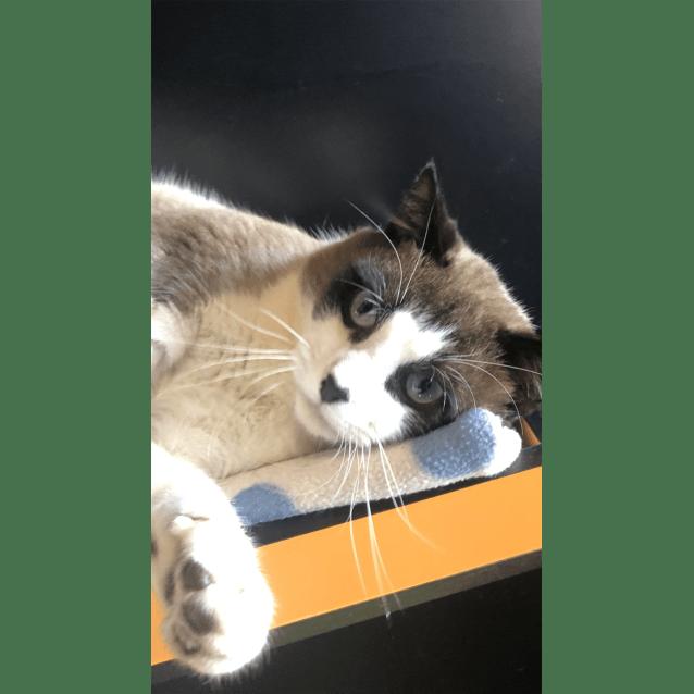 Argo - Male Snowshoe Mix Cat in QLD - PetRescue