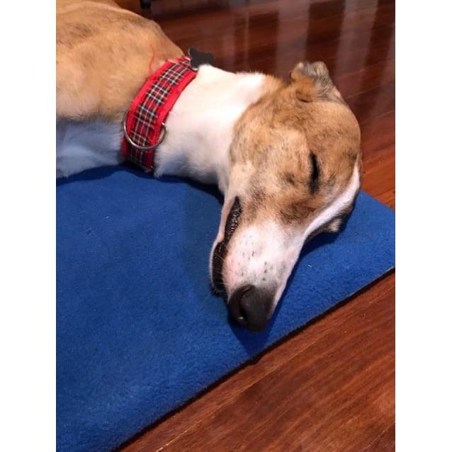 Photo of Lassie.   Brisbane