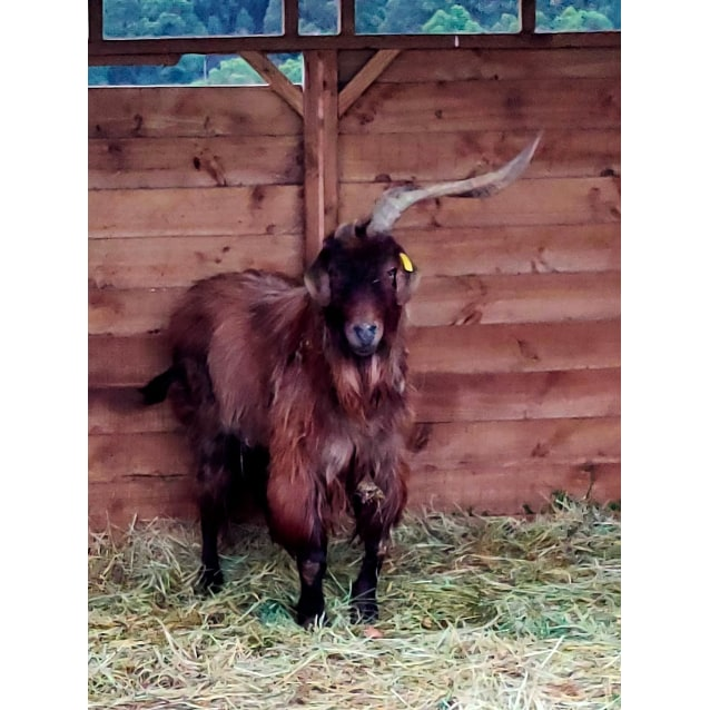 Photo of Spike The Unicorn Goat