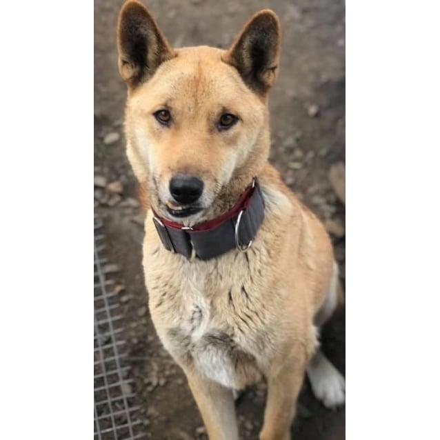 Photo of Apollo  Dingo