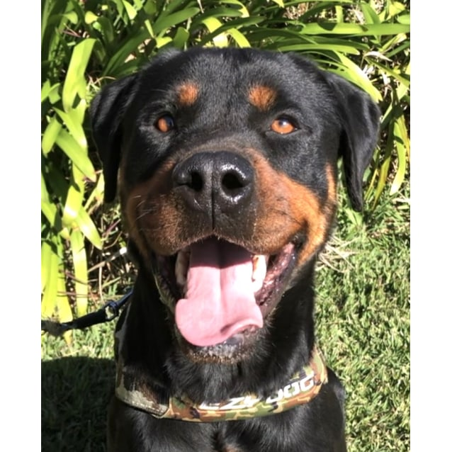 Photo of Dre ~ 4 Yr Old Rottweiler