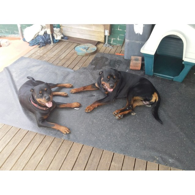 Photo of Frankie And Boris ** Pedigree Rottweilers **