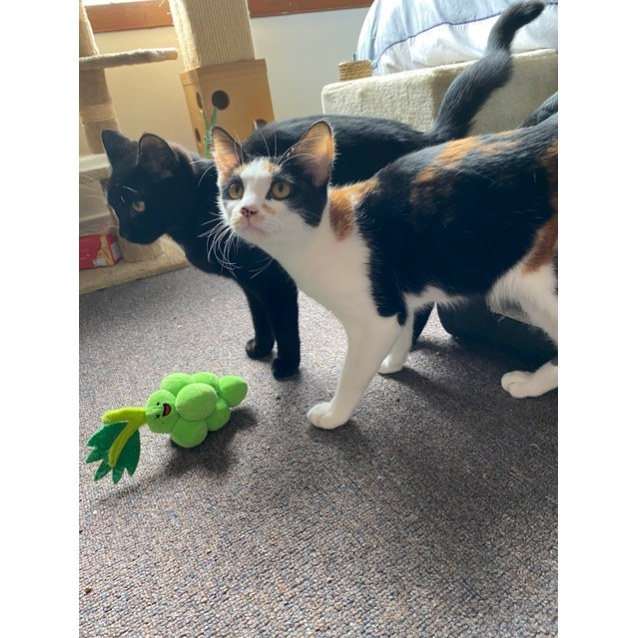 Photo of Sal And Blair ~ 6 Mo Dsh Kittens (Hold 19/08/20)