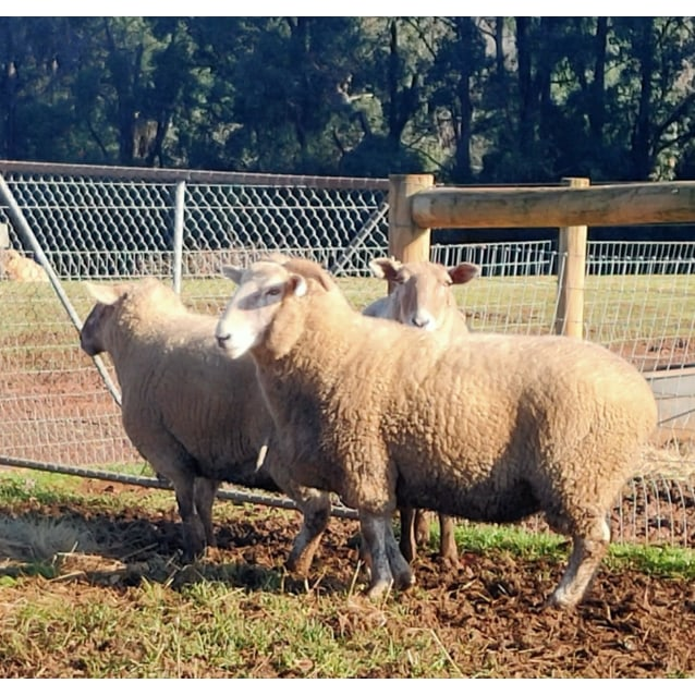 Photo of Sheep For Adoption