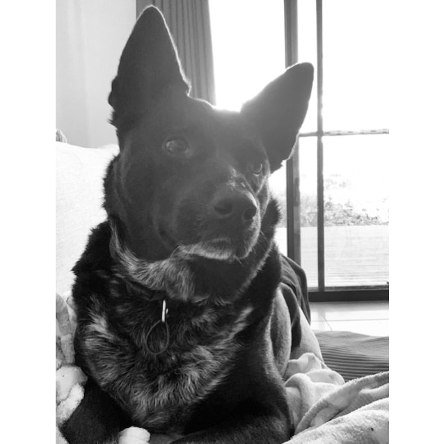 Photo of Sally ~ 5yr Old Kelpie X