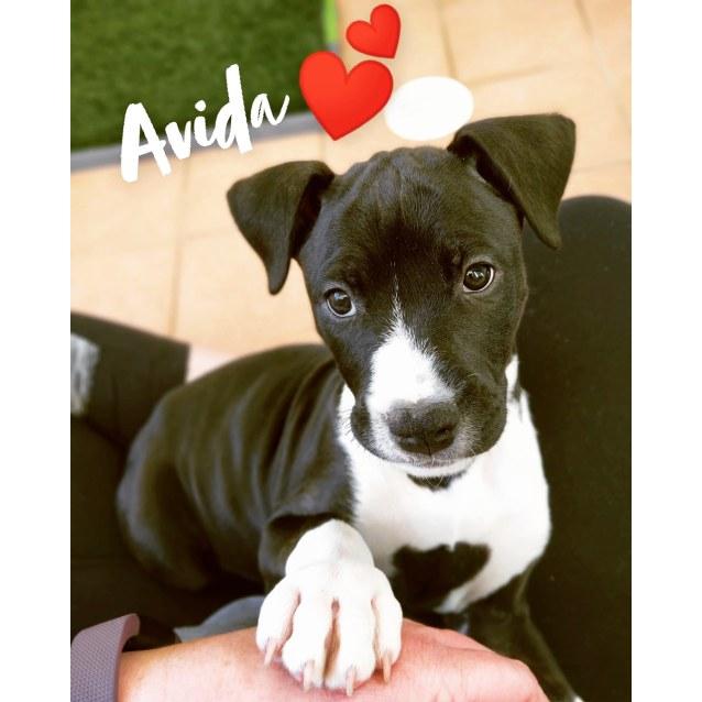 Photo of Avida ~ Wolfhound X Bull Arab Puppy