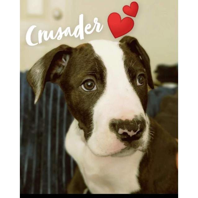 Photo of Crusader~ Wolfhound X Bull Arab Puppy
