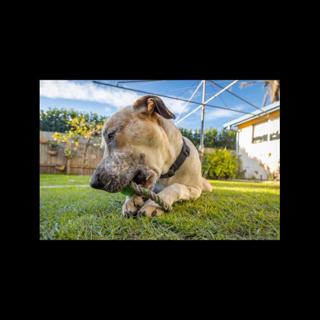 Photo of Harley ~ 15mo Bull Arab X (On Trial 17/09/20)