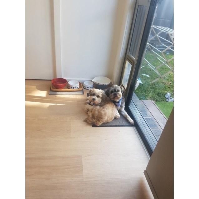 Photo of Yuki And Sally ~ 8 & 10 Yr Old Lowchen Pair