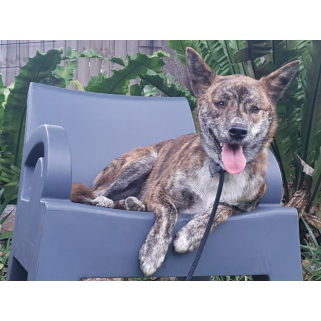 Photo of Shelby ~ 15 Month Old Dingo X