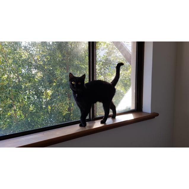 Photo of Shadow Kitty