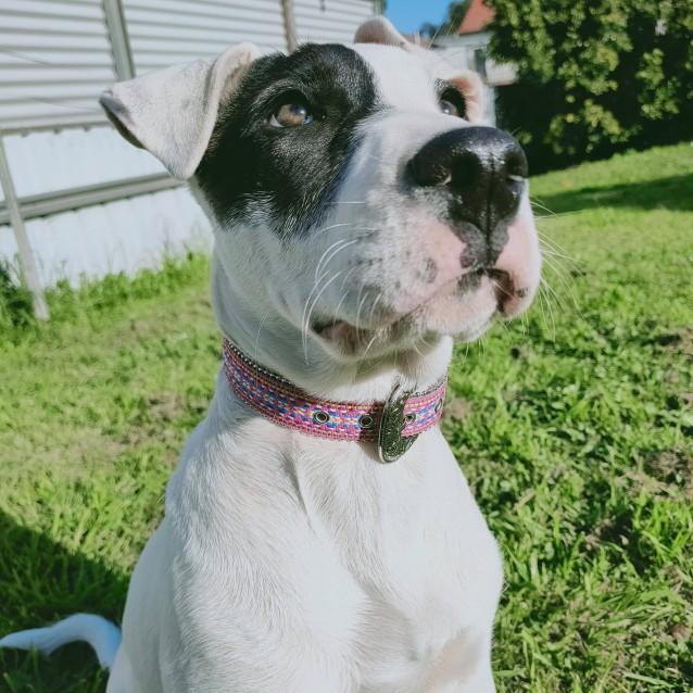 Photo of Zia ~ Bull Arab X Puppy