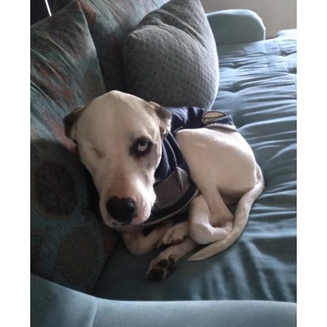 Photo of Leela ~ 4yr Old Mastiff X