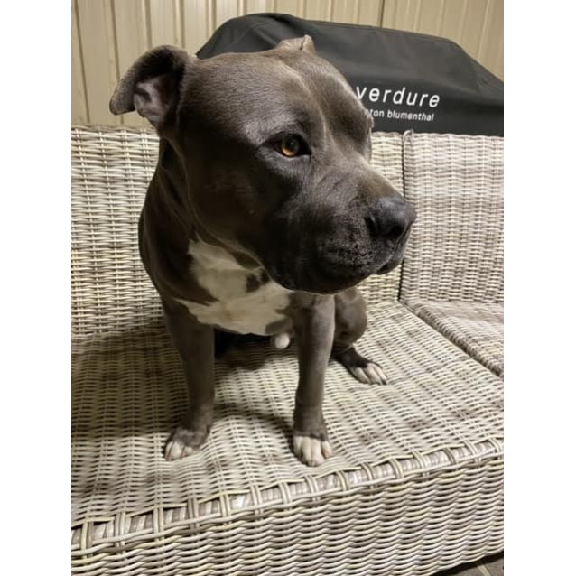 Photo of Bluey~3yr Old Amstaff(Hold Pending Adopt 17/09/20)