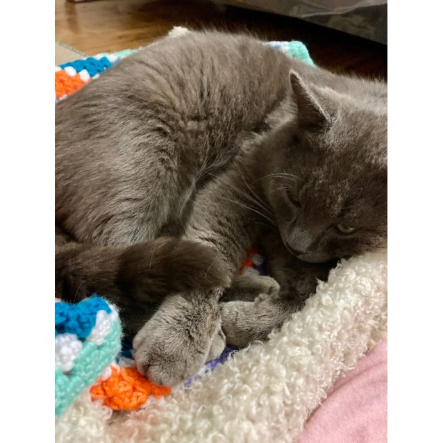 Photo of Biscuit ~ 18 Mo Russian Blue (On Trial 20/9/20)
