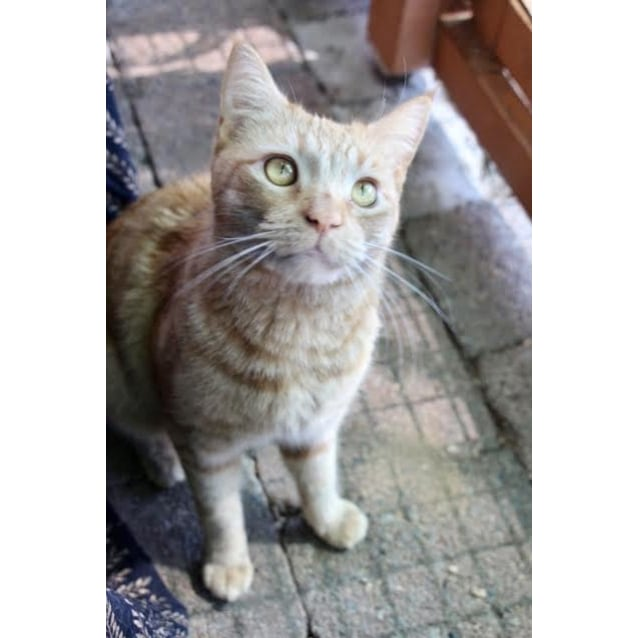 Photo of Ginger Meggs ~ 3yr Old Dsh