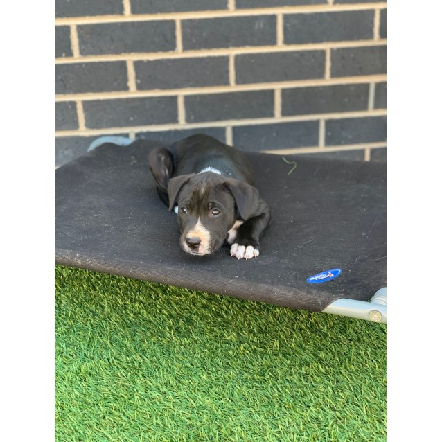 Photo of Bruce ~ Puppy (On Hold Evaluating Enquiries)