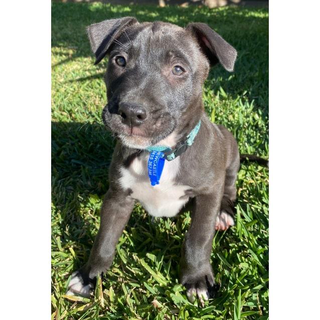 Photo of Ziggy ~ Mixed Breed Puppy