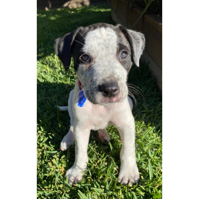 Photo of Buddy ~ Mixed Breed Puppy