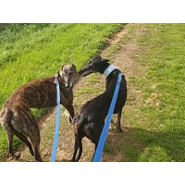 Photo of Thelma And Louise ~ 7yr Old Greyhounds