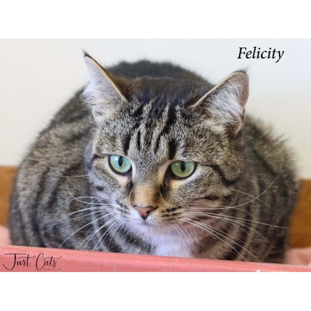 Felicity Female Domestic Short Hair Cat In Tas Petrescue