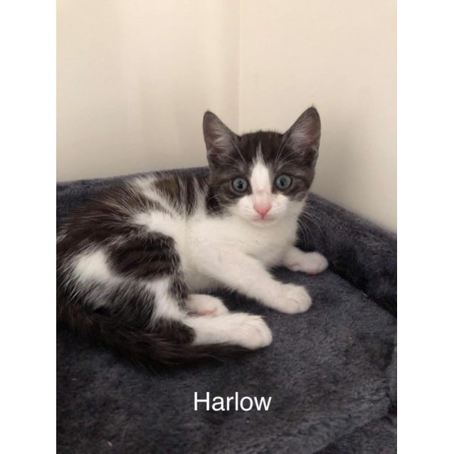 Harlow Male Domestic Short Hair Cat In Qld Petrescue