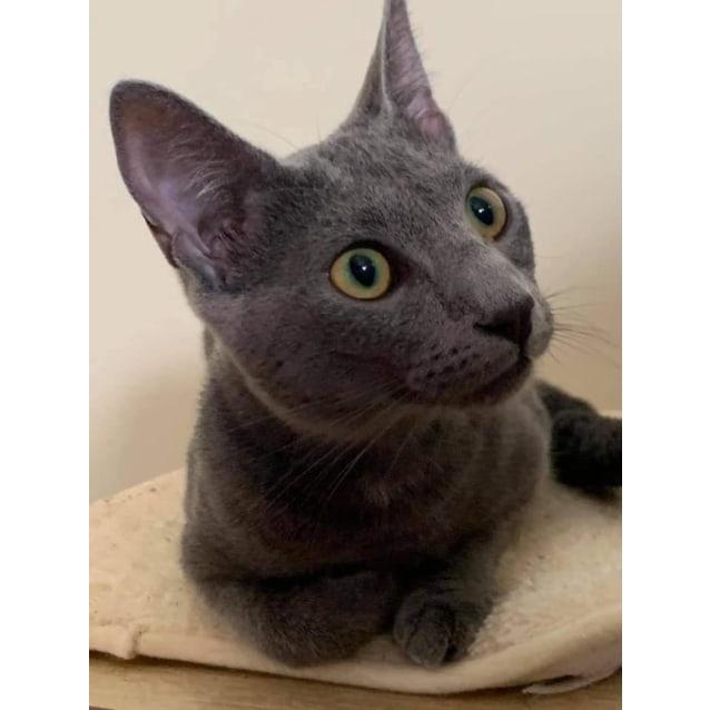 Georgia - Female Russian Blue Mix Cat in QLD - PetRescue