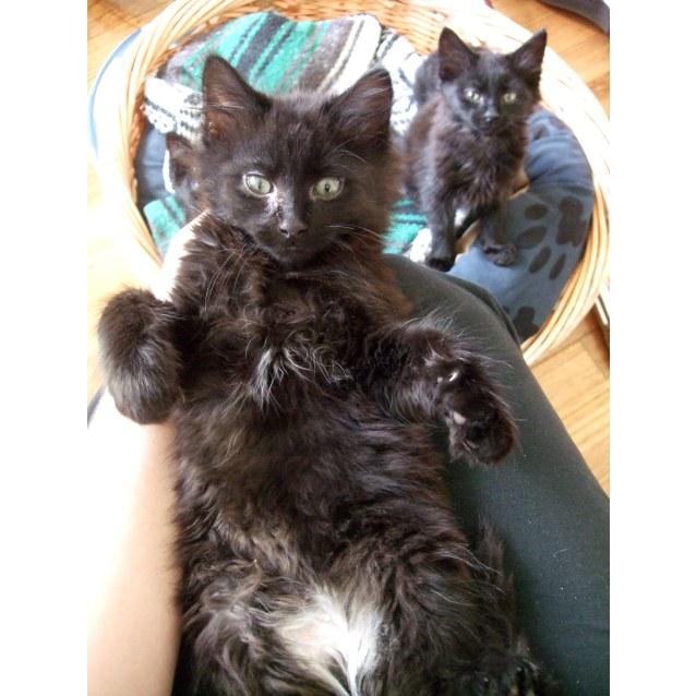 Photo of Black Fluffy Kitties!