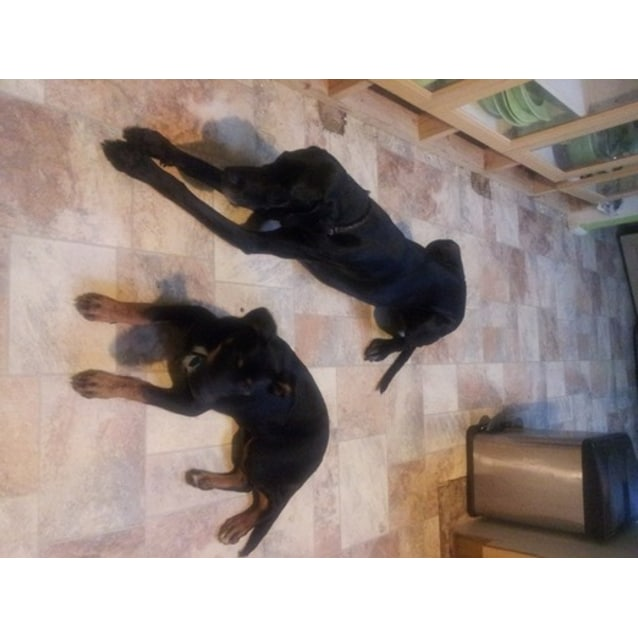 Photo of Boadie (Boadicea) Loves Dogs/Cats/Birds & Kids