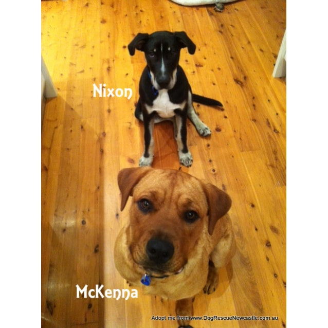 Photo of Mc Kenna (On Trial 21/11/14)~ Rotti X Labrador
