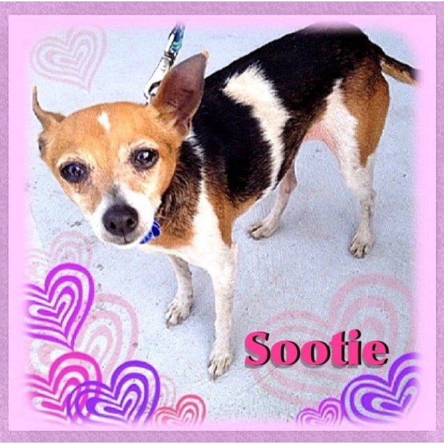 Photo of Sootie (New Listing Created) ~ Senior Mini Foxy