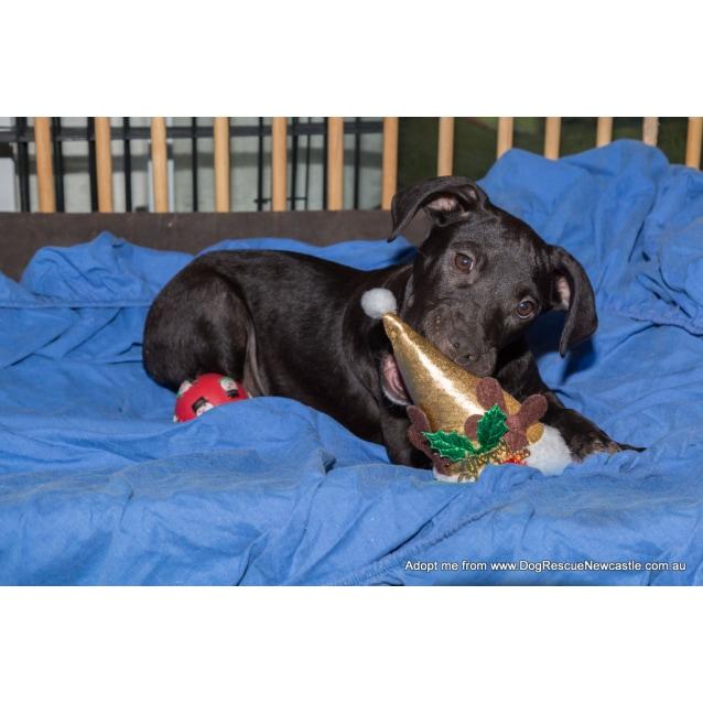 Photo of Puppy Eden (Pending Adopt By Carer)~ Ridgeback X