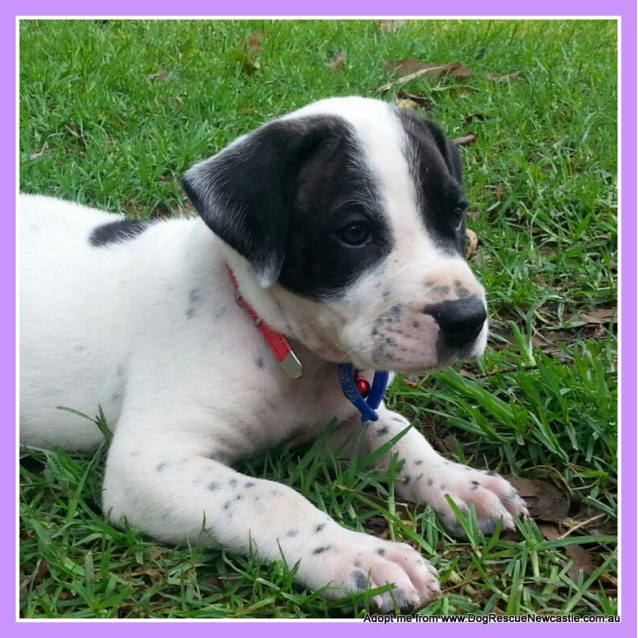 Photo of Hugo (On Trial 23/12/14)~ Staffy X Ridgeback Puppy