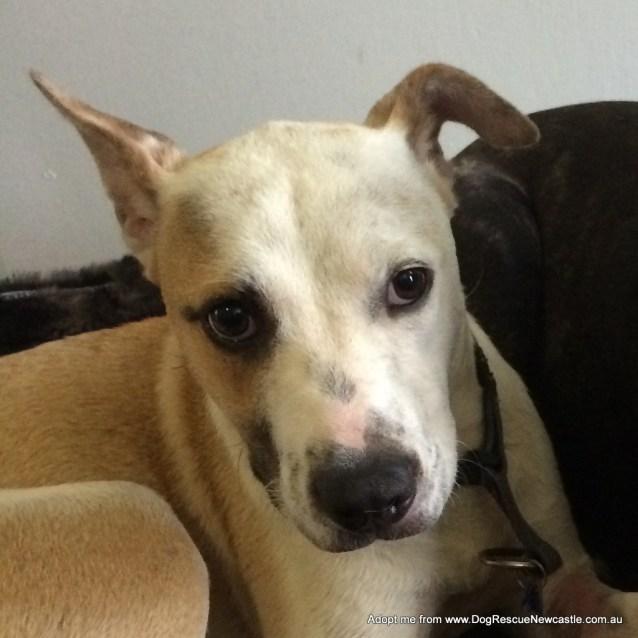 Photo of Zailey ~ Kelpie (On Trial 9/7/15)