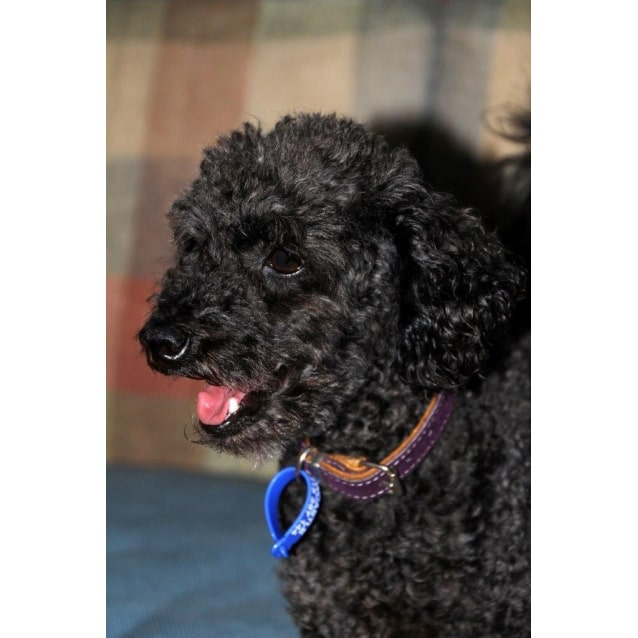 Peppie (On Trial 9/3/14) - Small Male Poodle Dog in NSW - PetRescue