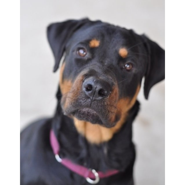 Kate A Pure Breed American Rottweiler Large Female