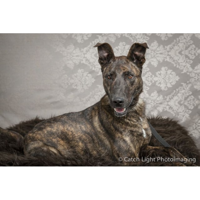 Rossi - Medium Male Cross breed x Greyhound Dog in NSW - PetRescue
