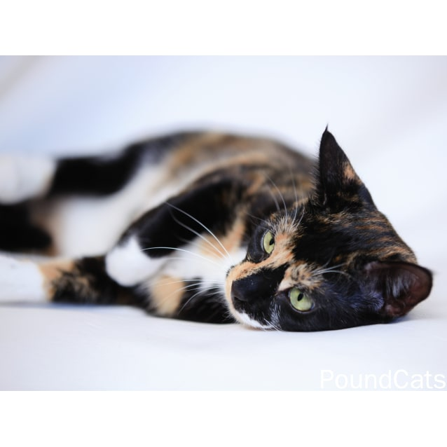 Photo of Pound Cats | Lily