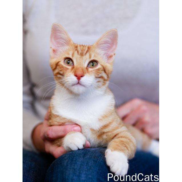 Photo of Pound Cats | Benny